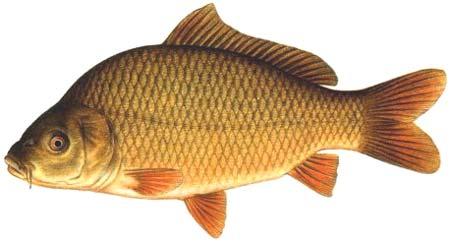 Karp charakterystyka w dkarska i opis ryby - Carpa a specchio ...