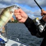 łowienie okoni latem, łowienie okoni na żywca