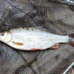 łowienie ryb na bata, jak łowić na bata