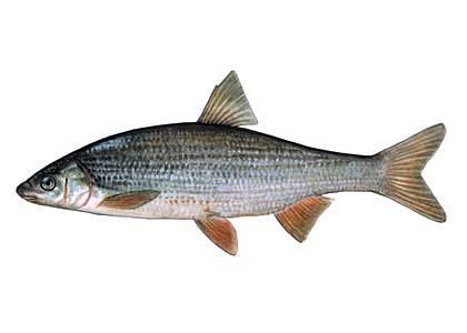 świnka ryba