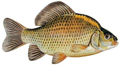Karaś ryby