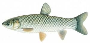 amur ryba