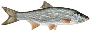 boleń ryba