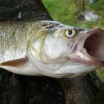 boleń rapa, rapa ryba