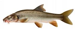 brzana ryba