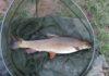 brzana ryba, brzana okres i wymiar ochronny, ryby brzany