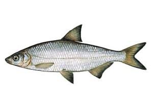 certa ryba