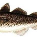 dorsz ryba