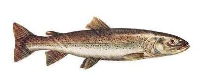 głowacica ryba