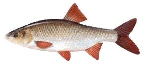 jaź ryby