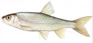 jelec ryba