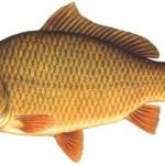 karp ryby