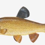 kleń ryba