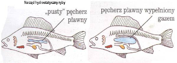 jak funkcjonuje ryba