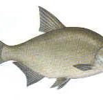 leszcz ryba