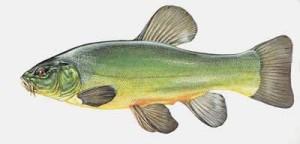 lin ryba