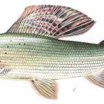lipień ryba