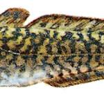 miętus ryba