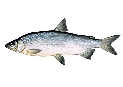 sieja ryba