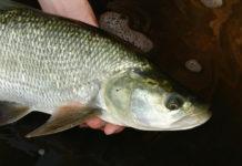 sposoby i techniki łowienia boleni