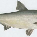 tołpyga ryba
